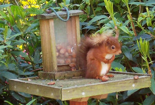 Red squirrel taking a bow